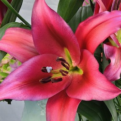 planting instructions for asiatic lilies